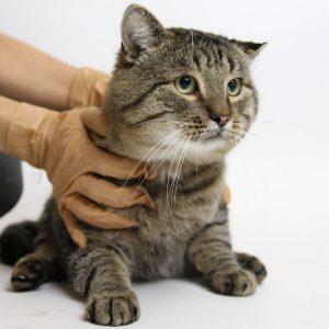 крупный кот