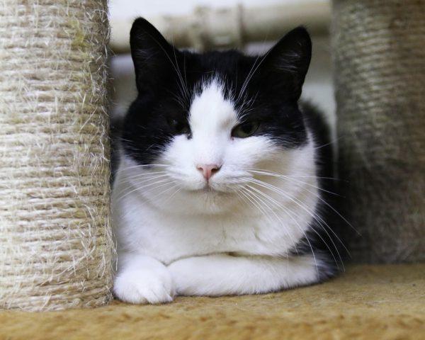 Черно-белая важная кошка