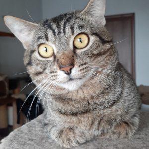 Полосатый кот с желтыми глазами