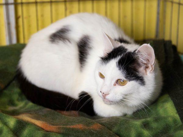 белая кошка с черным хвостом
